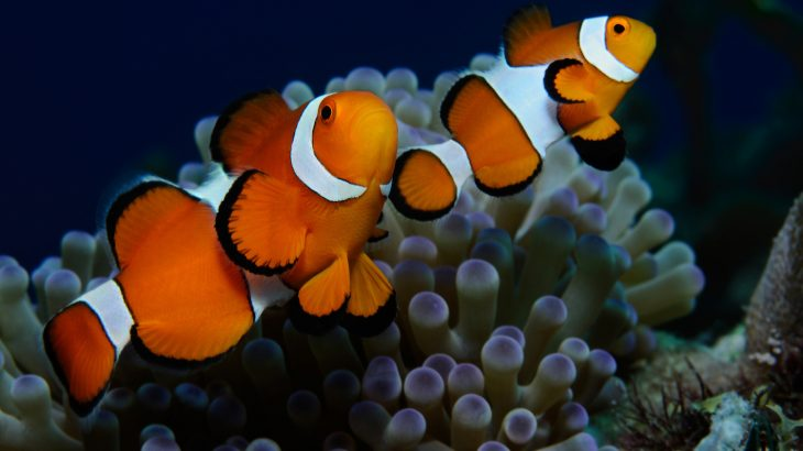 A recent study is providing new insight into the various stripe patterns found on clownfish and how these patterns change over time.