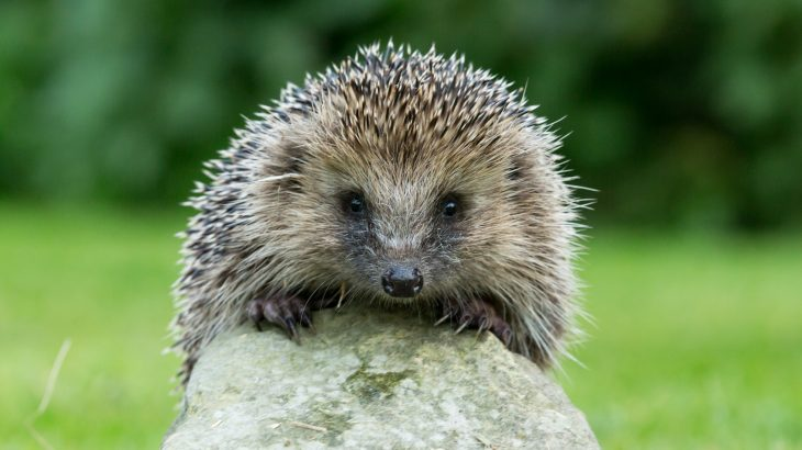 According to a new study, hedgehogs seem to be quickly disappearing from rural areas in England where the species was once abundant.