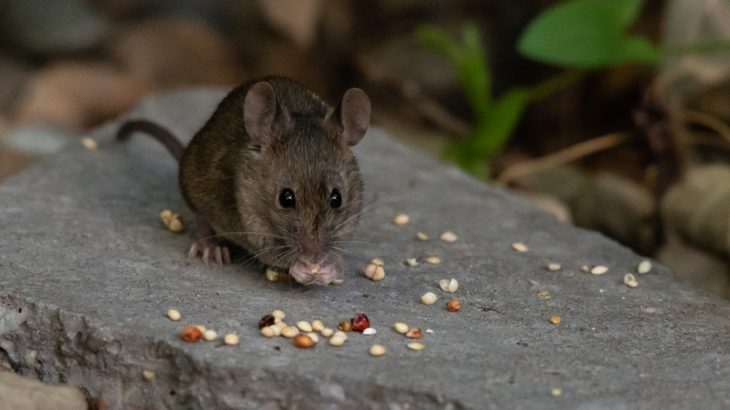 The key for longer lives in male mice seems to be daily fasting between meals, a new study suggests.