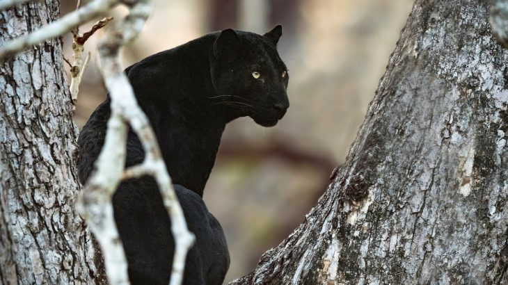 Melanism, the incidence of unusual amounts of melanin resulting in black fur, feathers, or scales, is widespread in the animal kingdom.