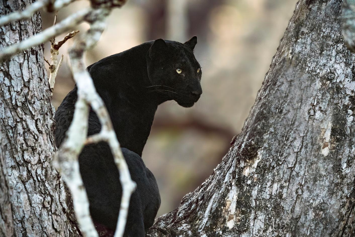 Which animals are black The phenomenon of melanism