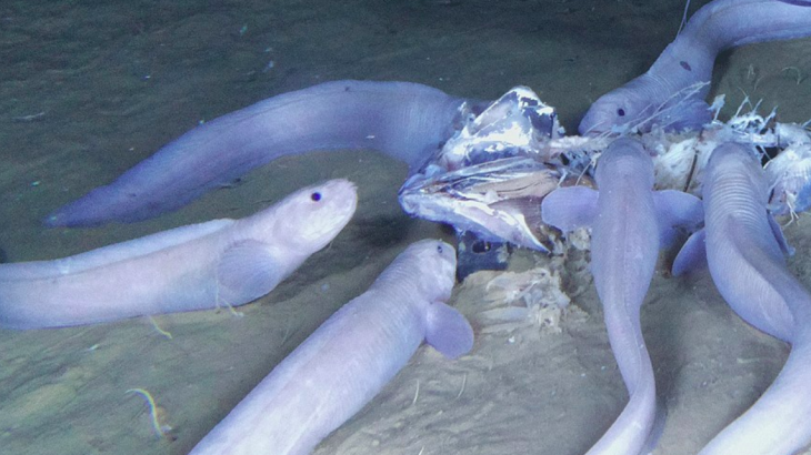 In the pitch black Pacific waters, a team of experts captured rare footage of what is thought to be three new species of snailfish.