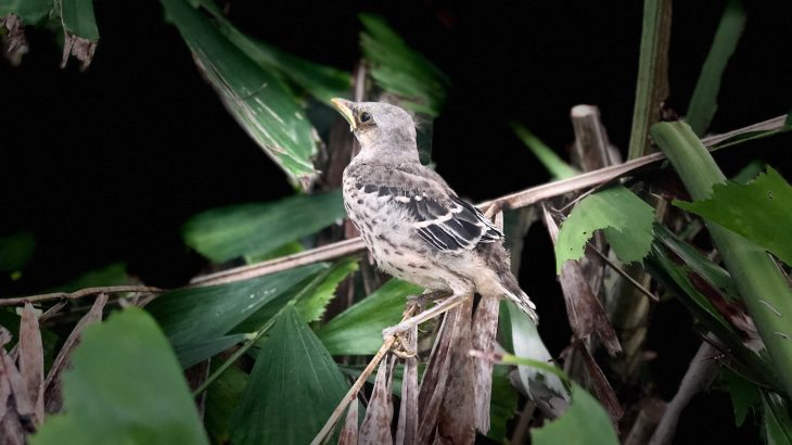 It may be tempting for baby birds to stay in the nest as long as possible, but that actually increases the predation risk.
