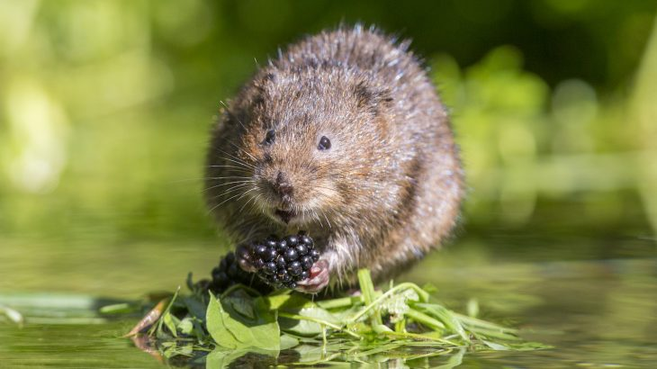 According to the National Trust, around 150 European water voles are being released in Somerset, where they were last spotted in the 1980s.