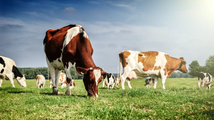 Researchers at the University of Helsinki discovered that cows are a source of resistant bacterial strains that cause infections in humans.