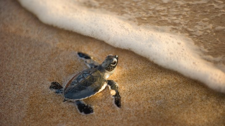 According to new research, baby sea turtles are nearly four times more likely than adults to die after consuming plastic waste.