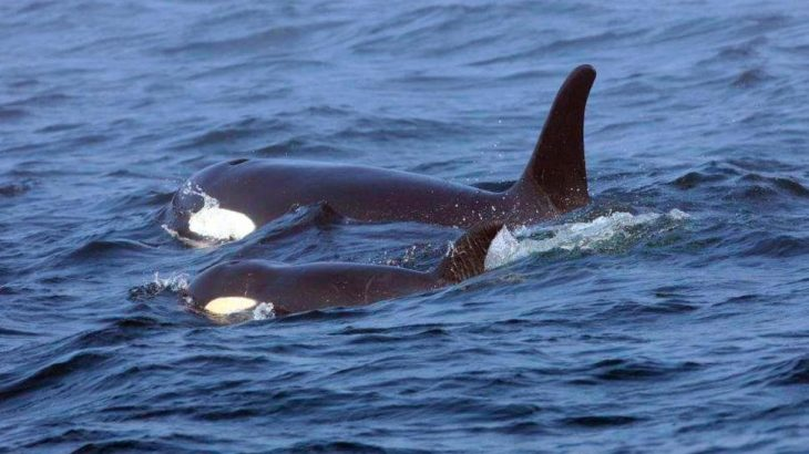 Experts have been monitoring the behavior and movement of a sick young orca in the Pacific Northwest who has now gone missing.