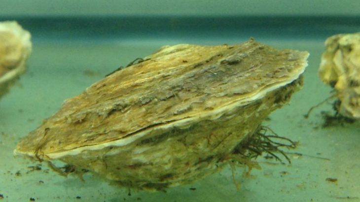 Oysters like these, at a University of Connecticut lab, likely suffered toxic effects from the oil dispersants like Corexit 9500 when it was used to clean up the 2010 Deepwater Horizon oil spill.