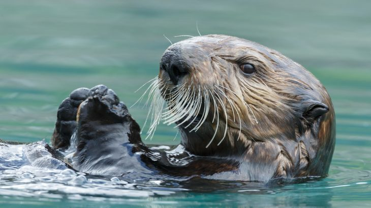 The paws and whiskers of sea otters have a very useful sensitivity that greatly enhances their foraging ability.