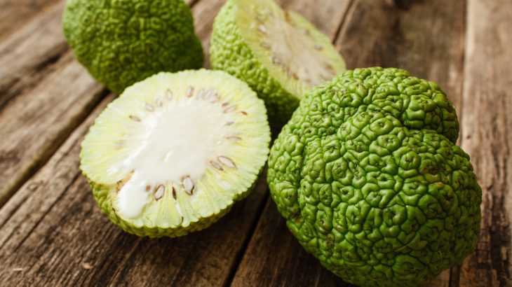 While relatively widespread, the current distribution of the Osage orange is almost exclusively attributed to human intervention.