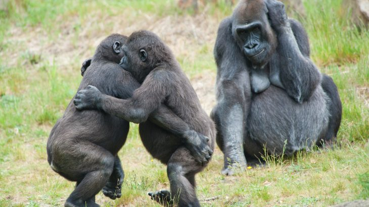 A recent study has revealed that the behavior of African mountain gorillas is strongly influenced by the tight bonds they form within groups.