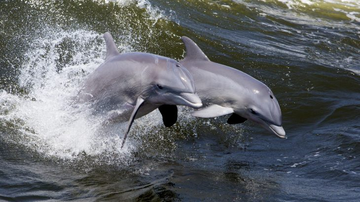 """New research has revealed that bottlenose dolphins can synchronize their movements with """"extreme precision."""""""
