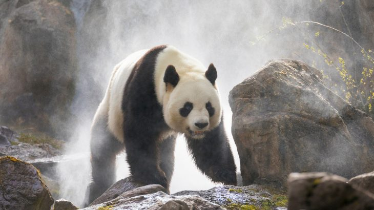 A new study found that signals contained in giant panda calls revealed important information about the sex and identity of the callers.