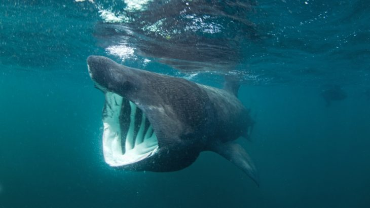Basking sharks may prefer to swim slowly and eat whatever floats into their mouths, but they have some serious swimming skills.