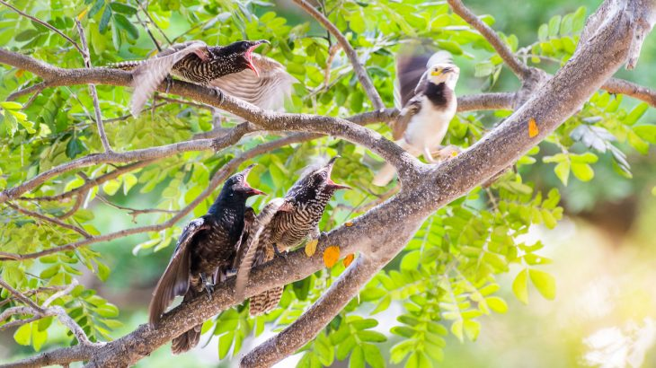 Brood parasitism, a phenomenon in which animals compel other animals, related or not, to raise their offspring, it not uncommon.
