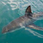 A new study found that shark finning is currently unsustainable and is leading species of sharks towards extinction.