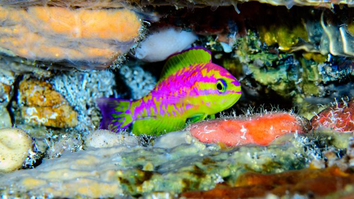 A striking new reef fish has been discovered near a remote chain of Brazilian islands known as St. Paul's Rocks.