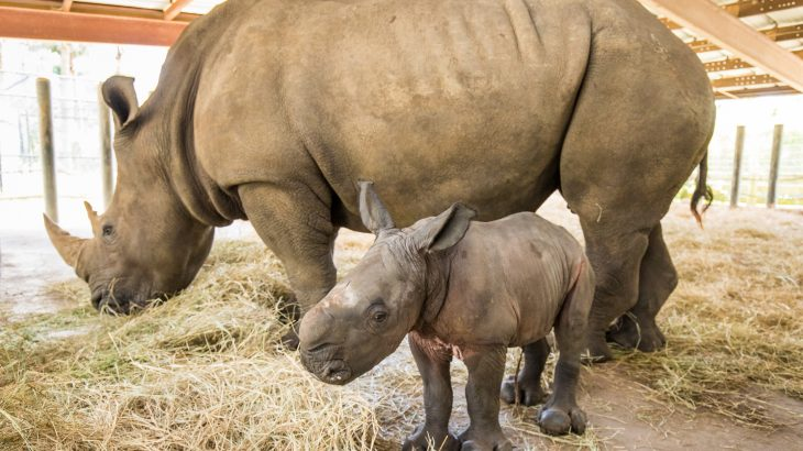 Aleke, a Southern white rhinoceros, gave birth to a calf, the sixth white rhino calf to be born successfully at ZooTampa in Florida.
