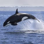 A new study shows that the current concentrations of PCBs may lead to the disappearance of half the world's populations of killer whales.