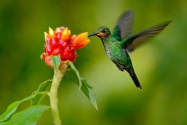 Both hummingbirds and bats can hover by twisting their wings and pushing air downward to help keep steady in mid-air.