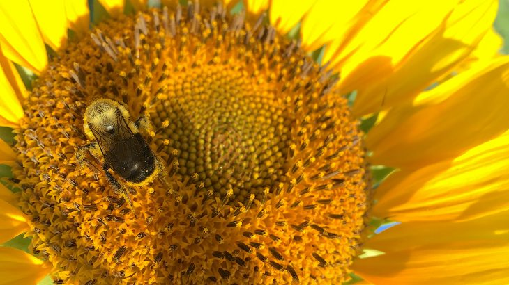 A new study led by North Carolina State University has revealed that sunflower pollen makes bees less susceptible to infection and disease.