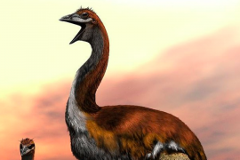 """Scientists at the Zoological Society of London (ZSL) may have finally ended a long debate over the """"world's largest bird."""""""
