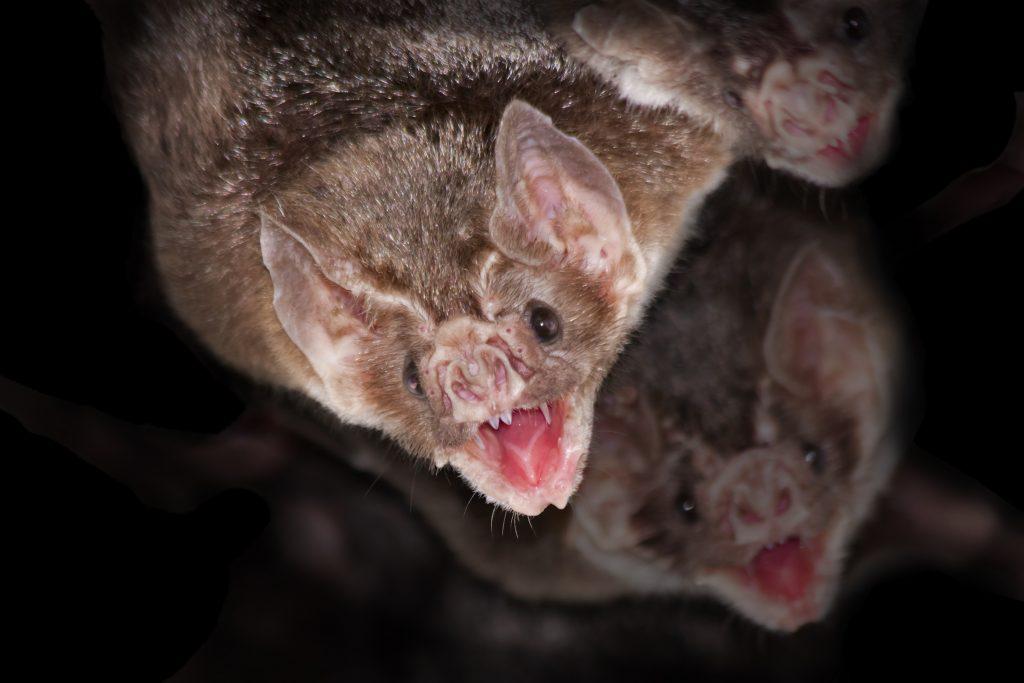 Do vampire bats suck blood