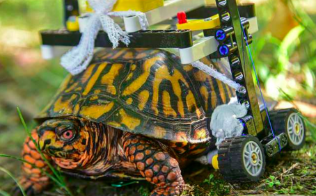 At The Maryland Zoo, a turtle is rolling around on a wheelchair made out of Legos while recovering from surgery.