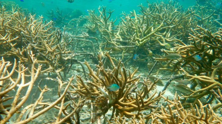 Researchers have now developed a new technique that successfully rehabilitated large portions of coral reefs.