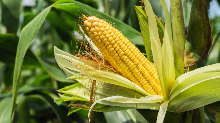 The productivity of corn can be boosted by targeting the enzyme in charge of capturing CO2 from the atmosphere.