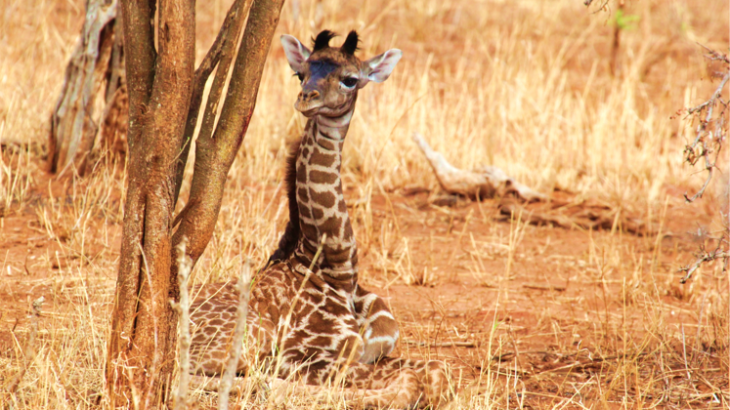 A giraffe's spot pattern is passed down from mother to baby, and their survival is directly related to their spot pattern.