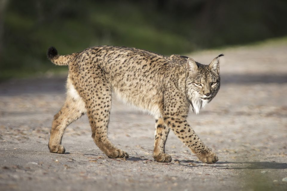 Since at least the early 19th century, the Iberian lynx has been in decline, its range having shrunk to small parts of Spain and Portugal.