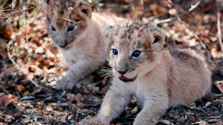 """Victor and Isabel, the world's first lion cubs to be conceived through artificial insemination, are described as being """"healthy and normal."""""""