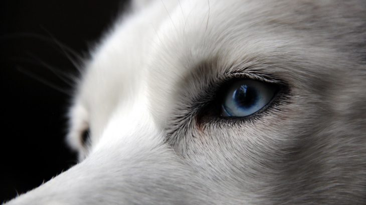 Have you ever wondered why huskies, border collies, and some shepherd dogs have those piercing blue eyes they're so known for?