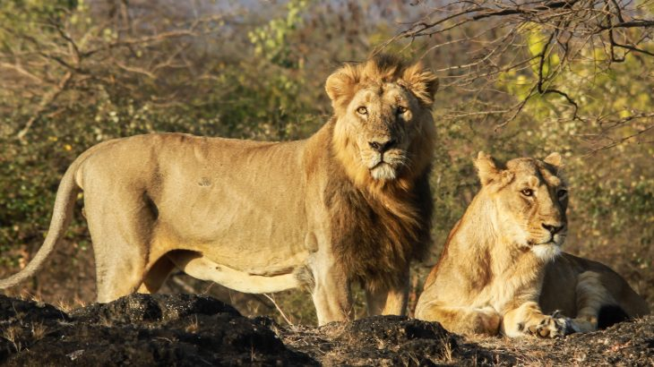 In India, lions are dying at a shocking rate, and there is concern that diseases carried by domestic dogs may be to blame.