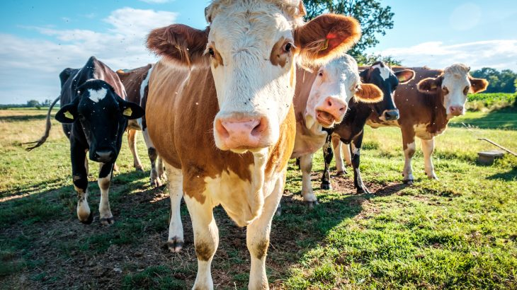 A Swiss company has developed a new cattle feed that may help to reduce belching and flatulence in livestock.