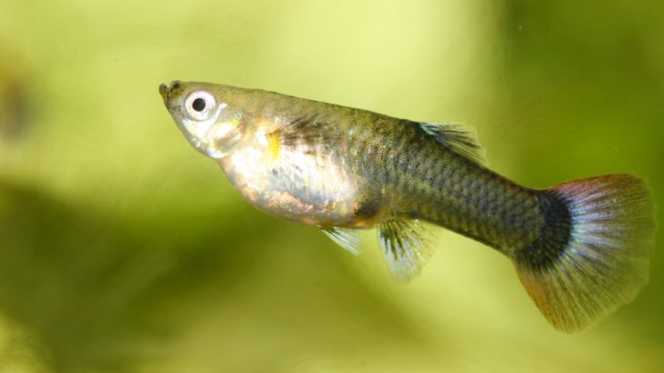While female guppies with smaller brains can recognize attractive males, they do not consider them to be more appealing.
