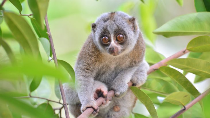Viral videos fuel demand for slow lorises in the pet trade 730x410