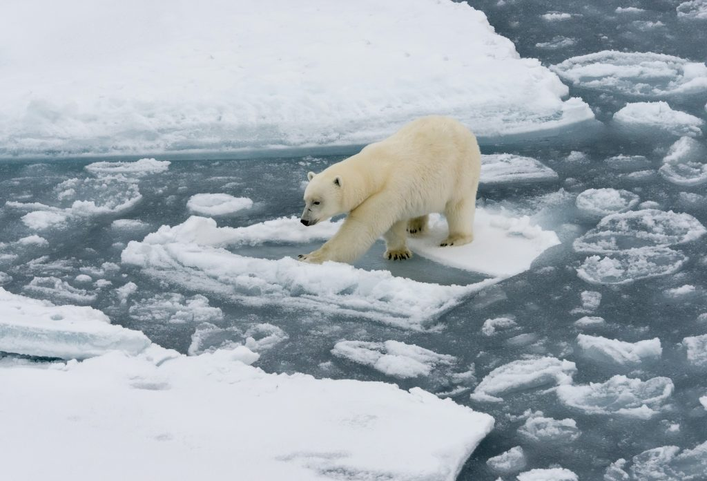 Why Polar Bears Became An Icon Of Climate Change