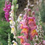 Snapdragons are tall plants that flower in a bright range of colors. But the most remarkable is that none of them seem to mix together.