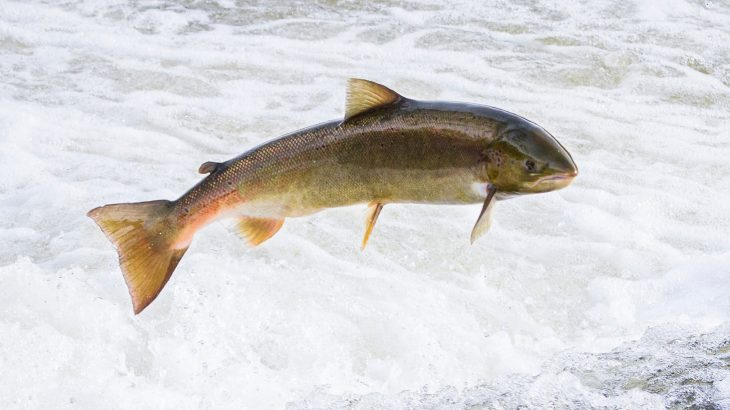 Atlantic salmon use the Earth's magnetic field to help navigate and this ability is passed on through generations.