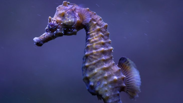 Recreational boating along the British seaside may be needlessly endangering populations of native seahorses.