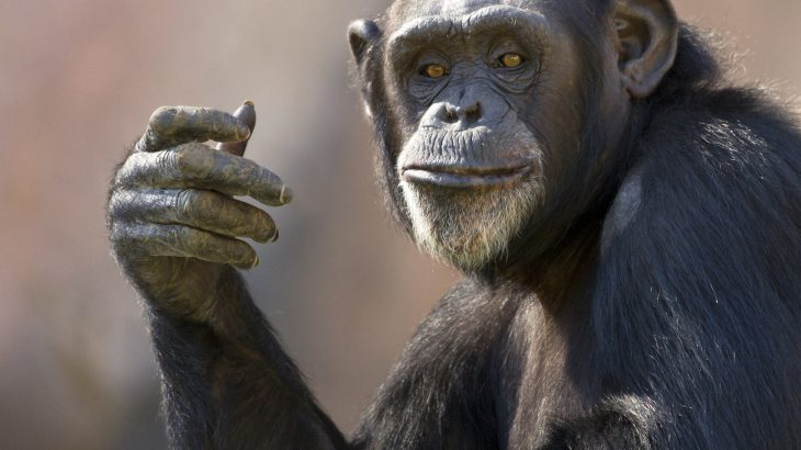 A new study from the UK has found that chimps who are more agreeable and sensitive tend to live longer lives.