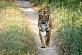Nepal now has an estimated population of 235 wild tigers, almost twice the estimated population of 121 tigers found in 2009.
