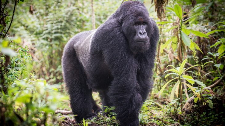 Anthropologists have found that when male mountain gorillas spend a lot of time caring for kids they are more reproductively successful.