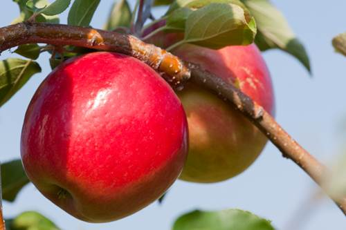 There is another variety of apple joining the ranks, and by all accounts, it's slated to give the Honeycrisp a run for its money.