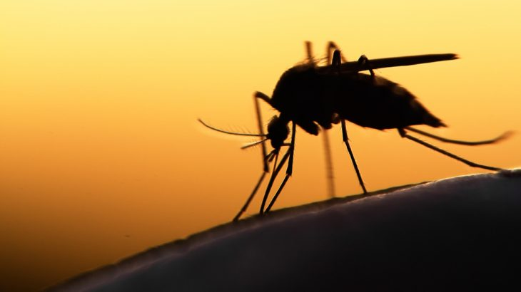 A study has found that decoys that mimic cattle are better at trapping malaria mosquitoes than human volunteers.