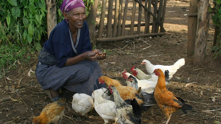 A more localized approach to sustainable development could be key to boosting the productivity of small-scale chicken farms across Africa.