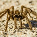 Tarantulas migrate annually, but a recent report revealed that the tarantula's range is extending further north as the planet warms.