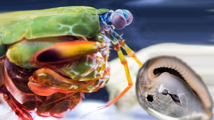 Club-like appendages enable the mantis shrimp to batter its prey with the most powerful punch in the animal kingdom.